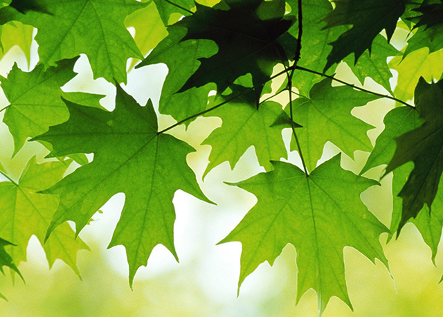 Применение кленовых листьев для лечения суставов