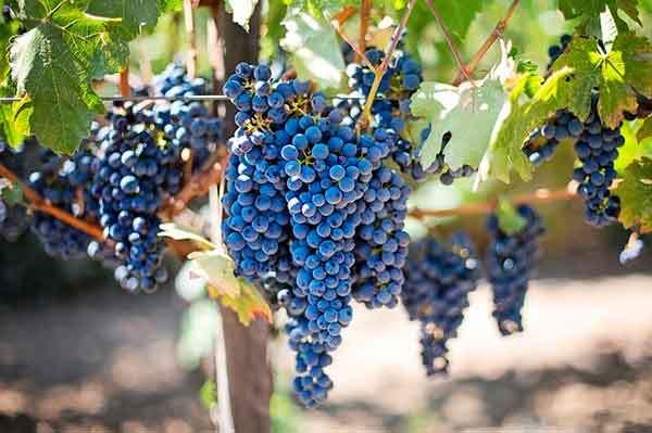Виноград при подагре можно или нет
