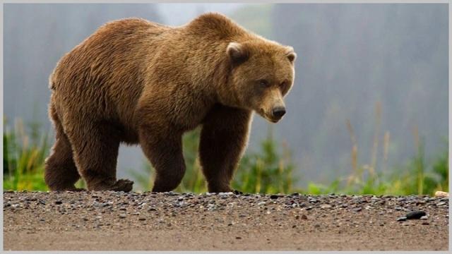 Медвежий жир для суставов — инструкция, состав и цена