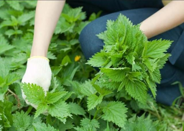 Способы применения крапивы для лечения подагры