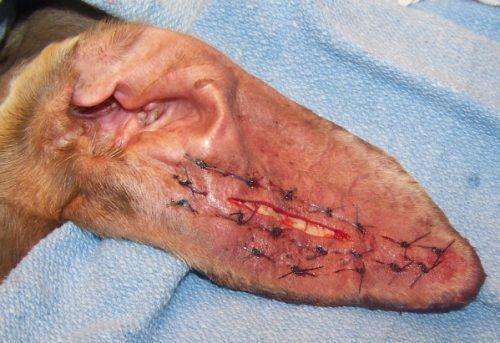 Отогематома — причины, симптомы, лечение, профилактика
