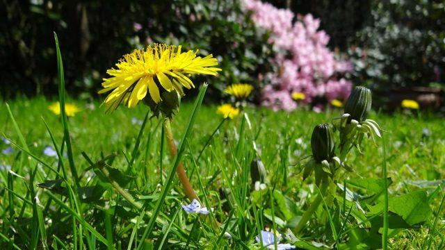 Одуванчик для суставов: особенности применения растения