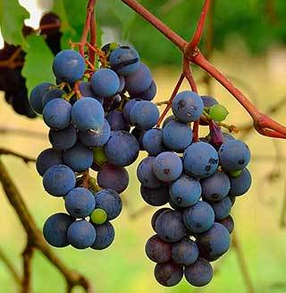 Употребление винограда при подагре: польза и правила применения