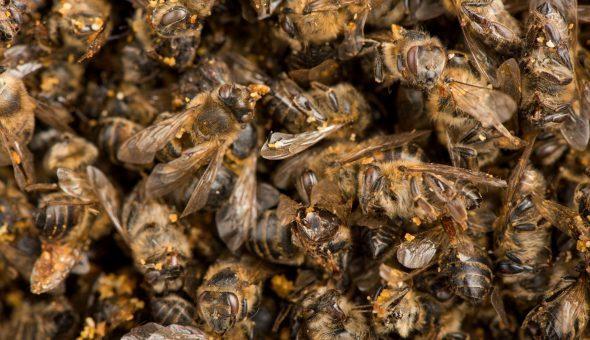 Подмор пчелиный для лечения суставов: рецепты приготовления и механизм действия