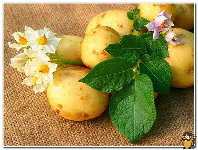 Лечение суставов картофелем: полезные свойства и применение