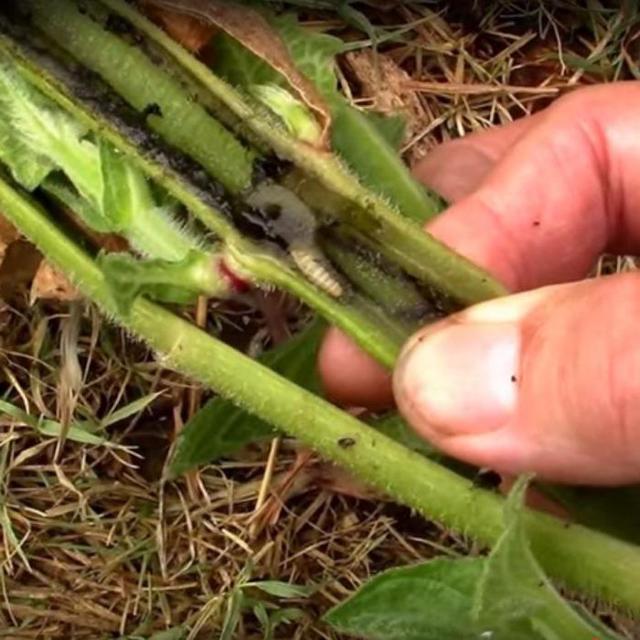 Правила лечения суставов с помощью корня подсолнуха